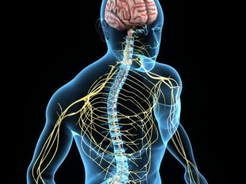 Abbildung des menschlichen Nervensystems