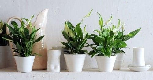 Drei Topfpflanzen