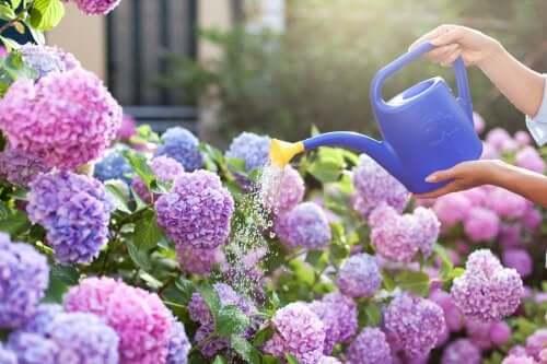 Duftpflanzen: Flieder