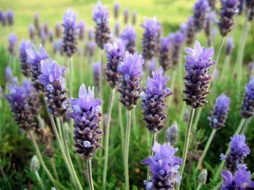 Duftpflanzen: Lavendel