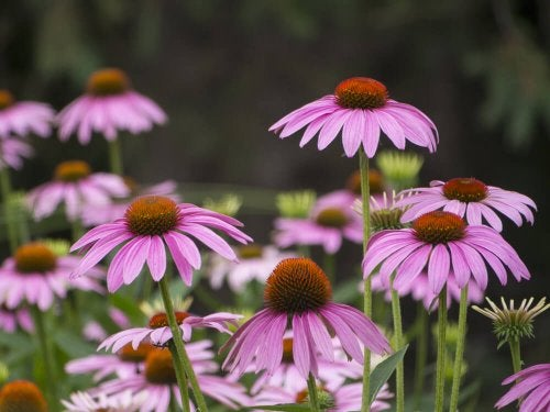 Sommerblumen: Sonnenhüte