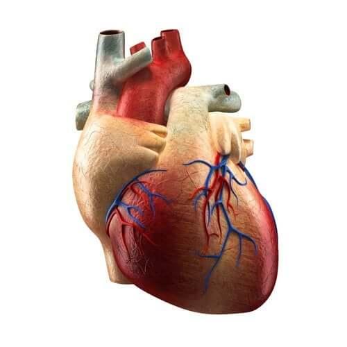 Aufbau und Funktionsweise des Herzens