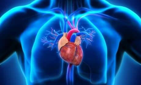 Funktionsweise des Herzens