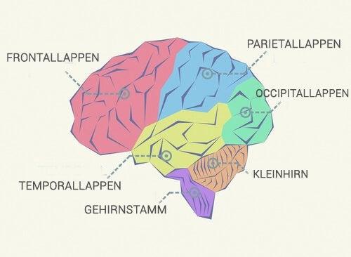 Aufbau des Gehirns: die Gehirnlappen