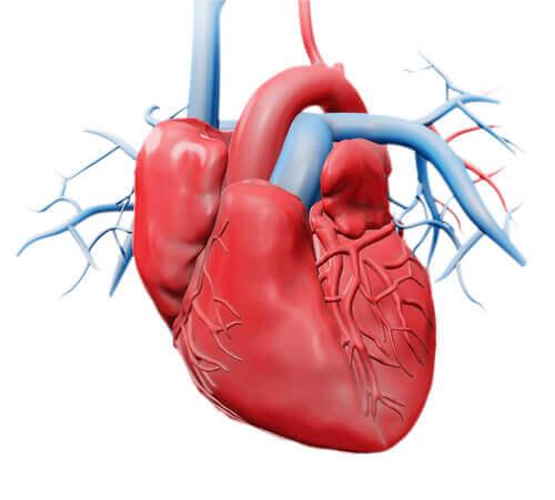 Aufbau und Funktionsweise des Herzens: die Herzklappen