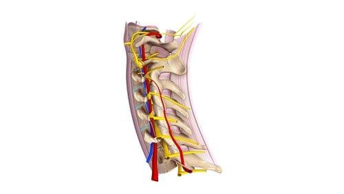 Erfahre Interessantes über die zervikalen Spinalnerven