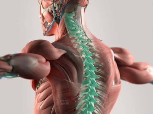 Eigenschaften der zervikalen Spinalnerven