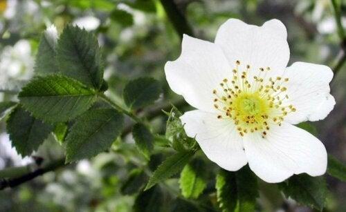 Weißdorn, eine der besten Arzneipflanzen
