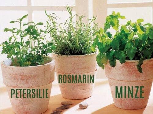 Kräuter Topfpflanzen