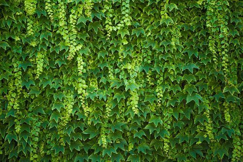 Was ist Hedera helix?