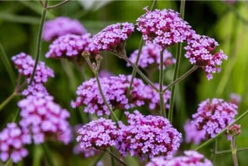 Eisenkraut - Blüten