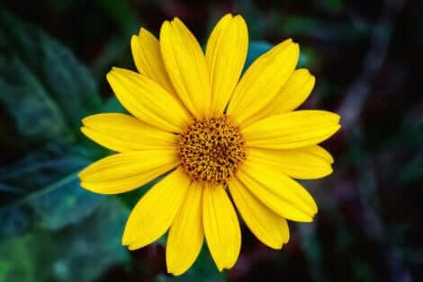 Arnika ist eine Pflanze aus der Familie der Korbblütler
