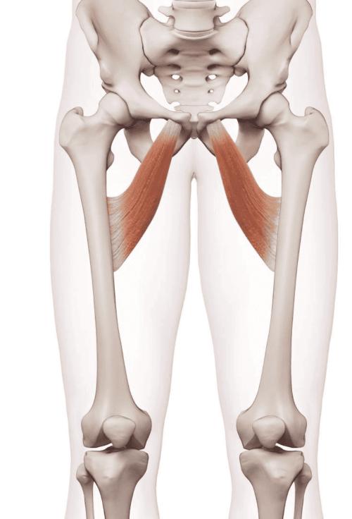 Anatomische Darstellung der Lage der Adduktorenmuskeln