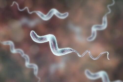 Campylobacter-Bakterien