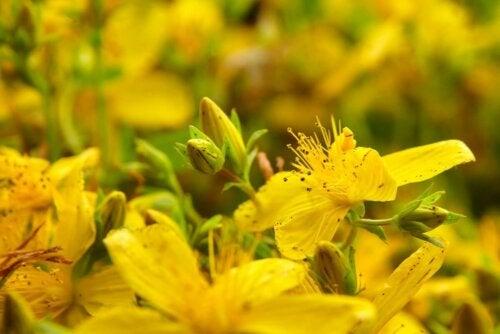 Johanneskraut Heilpflanze