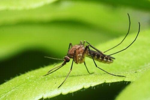 Die wesentlichen durch Mücken übertragenen Krankheiten