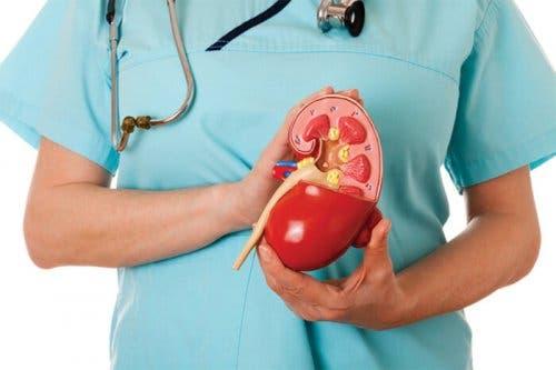 Chronische Nierenerkrankungen - Arzt mit Nierenmodell