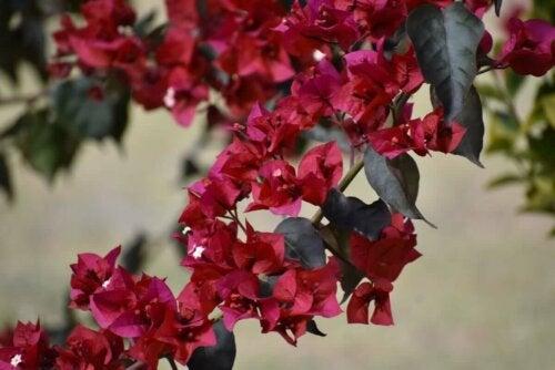 Bougainvilla ist eine robuste Pflanze