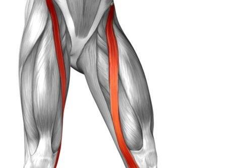 Anatomie Sartorius-Muskel