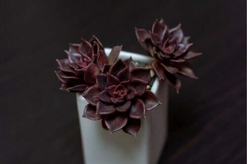 Schwarze Pflanzen: 7 natürliche Schönheiten