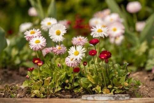 8 Arten von Gänseblümchen und wie man sie pflegt