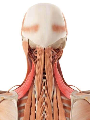 Die Anatomie des Halses: Knochen und Knorpel