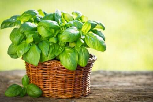 Basilikumsorten, die du in deinem Garten anbauen kannst