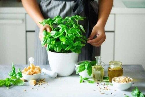 Basilikum wird für die Zubereitung von Pesto verwendet
