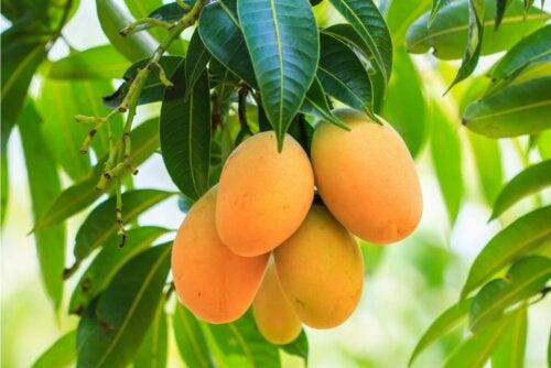 Vorteile von Mangoblättern